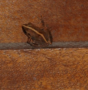Gounouj (Eleutherodactalus martinicensis) frogs